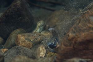 オイカワの産卵