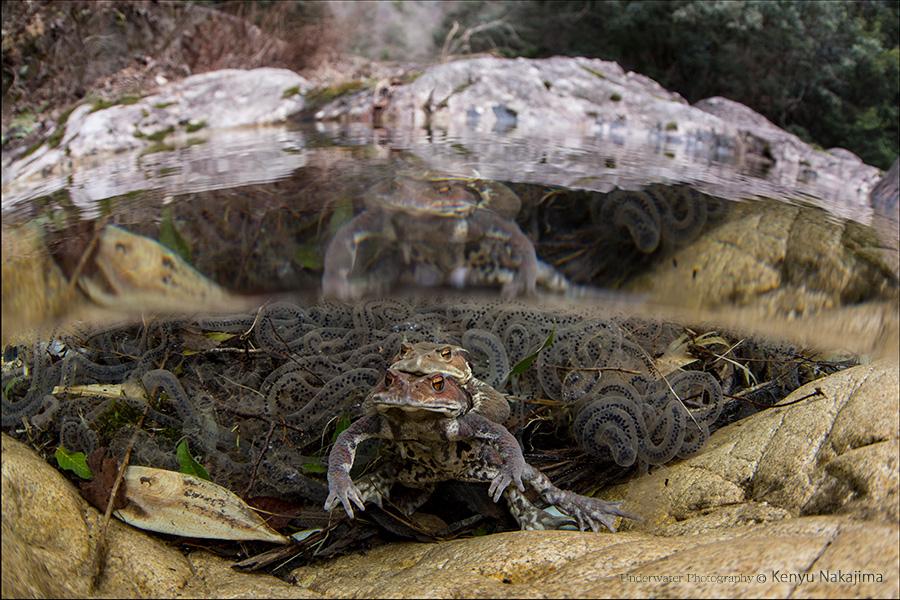 清流のヒキガエル