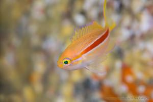 スジハナダイの幼魚