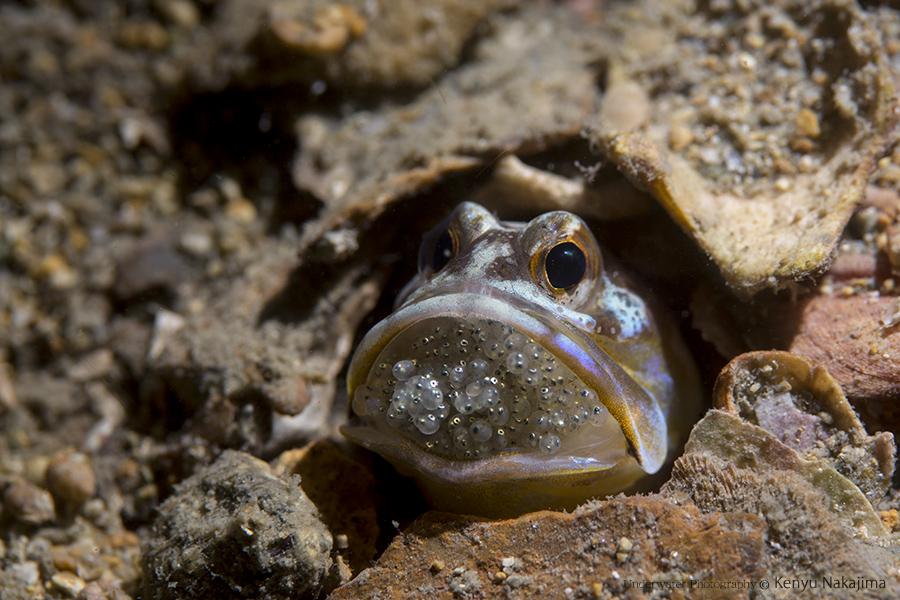 ニラミアマダイの口内保育