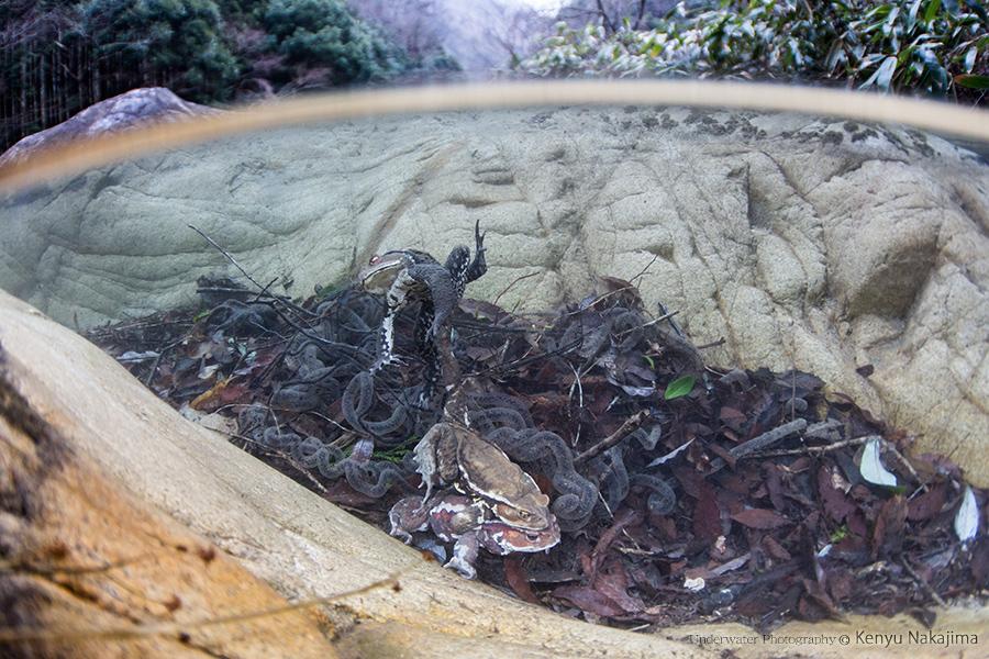 ヒキガエルの産卵