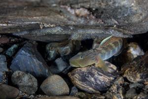 シマヨシノボリの卵保護