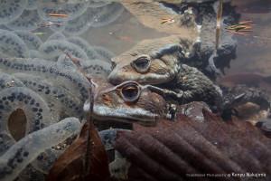 ニホンヒキガエルの産卵