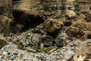 スナヤツメの産卵