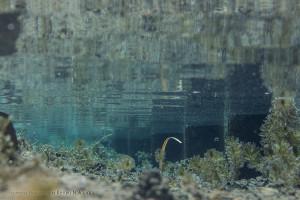 ハリヨの棲む水路