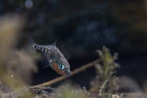 巣を守るハリヨ