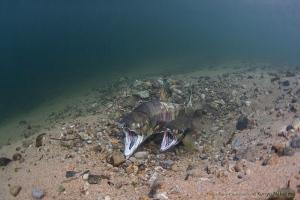 サケの産卵