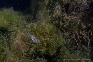 琵琶湖固有種のイサザ