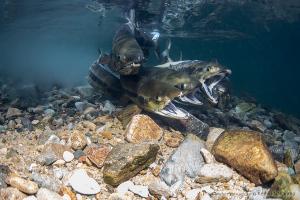 江の川水系 サケの産卵