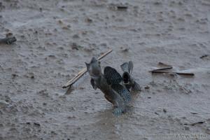 ムツゴロウの喧嘩