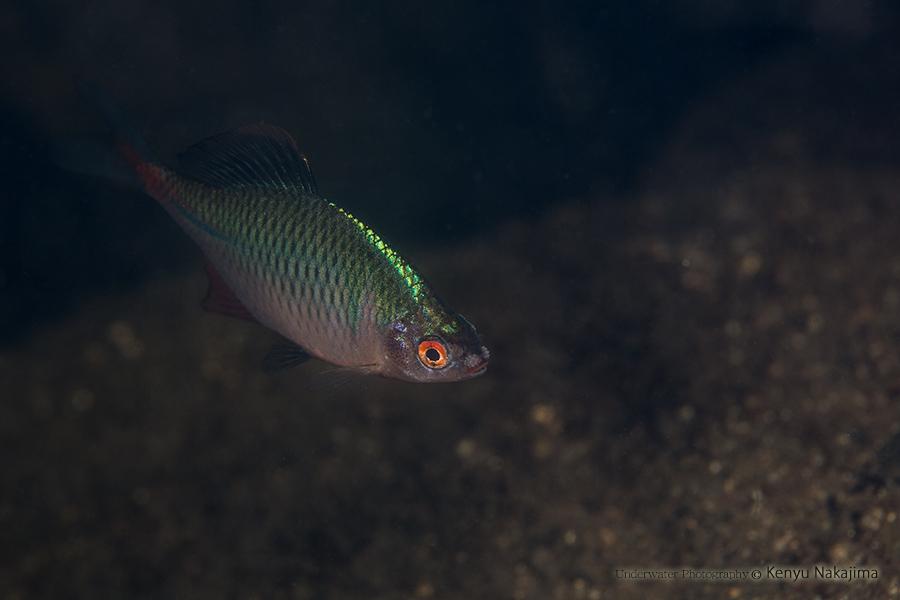 タナゴの画像 p1_32