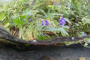 アメマスとトリカブトの花