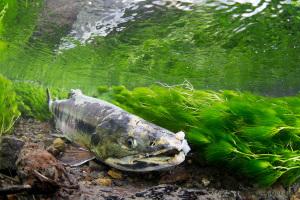 梅花藻とサケ